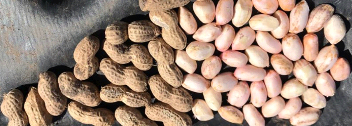 Argentine Peanuts – Report April 2019