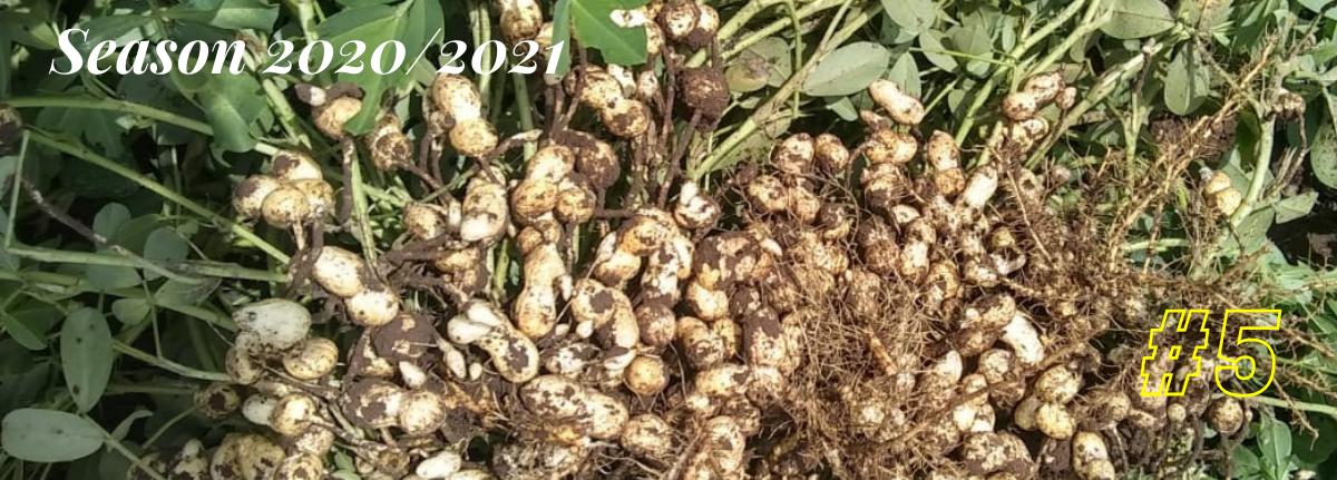 Argentine Peanut Crop Report 2020/2021 #5